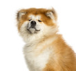canvas print picture - Close-up of Akita Inu, 1 year old, isolated on white