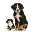 Young Bernese Mountain dog sitting with teddy bear