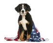 Young Bernese Mountain dog sitting with american flag