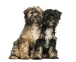 Two Tibetan Terrier, 4 months old, sitting and facing, isolated