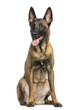 Belgian Shepherd Dog, 8 months year old, sitting and panting