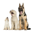 three dogs yawning, sitting, isolated on white