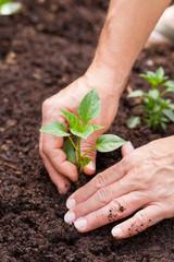 Hände setzten einen junge Pflanze