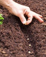 Hände legen Samen in die Erde