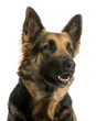 Close-up of a German shepherd looking away, panting