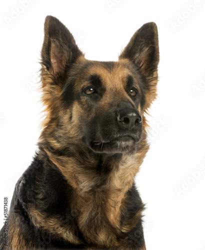 Close-up of a German shepherd looking away, 4 years old