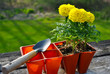 Planting Yellow Marigolds