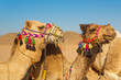 Camels on the egyptian desert