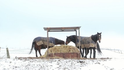 Horses eating straw and fighting under a shelter in the snow