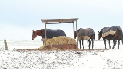 Horses eating straw under a shelter in the snow
