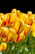 tulipani rosso gialli