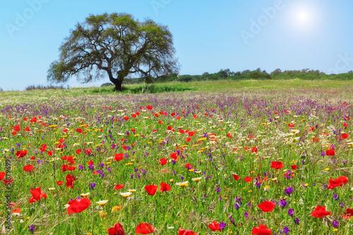 Fototapeta Red poppy field on a lovely summer day.
