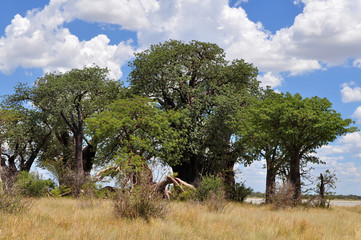 famous Baines baobab trees