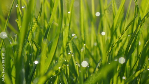 Dew Drops on Grass. Macro shot.