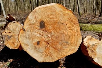Tronc d'arbre coupé vue en coupe