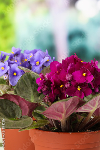 Bright saintpaulias in flowerpots, on natural background