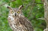 Great Horned Owl (Bubo virginianus), aka Tiger Owl