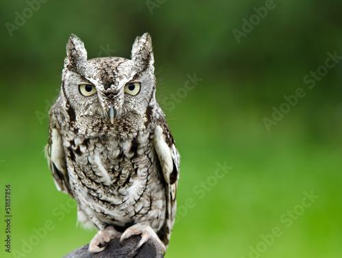 Canvas Uil Eastern Screech Owl (Megascops asio)