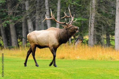 rocky-mountain-elk