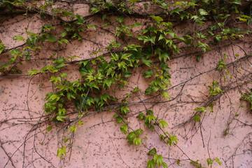 Vigne vierge sur un mur