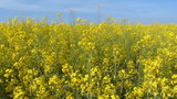 Yellow flower field, oilseed rape