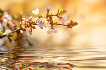 flowering cherry tree branch over the water
