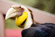 Close up portrait of wreathed hornbill