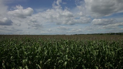 Corn field on a bright sunny day with Blue skies