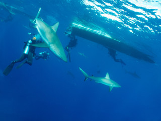 Caribbean reef sharks (Carcharhinus perezi) and divers