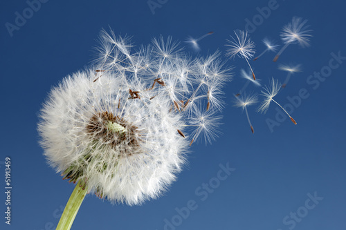 Sticker Dandelion clock dispersing seed