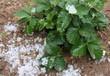 Planta de fresa con granizo - 51914452