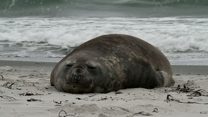 Southern elephant seal resting on the beach