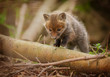 Very young fox cub out exploring