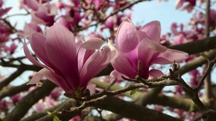 Pink tulip magnolia blossoms