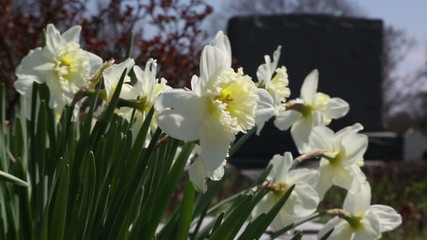 Beautiful daffodils by a cemetery gravestone