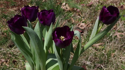 Purple tulips popping up through the grass outdoors