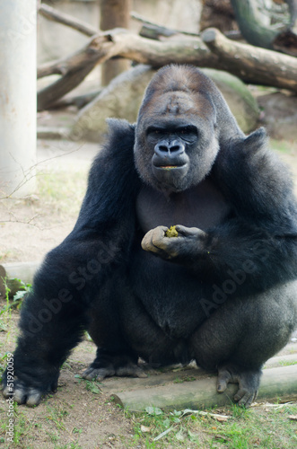 Gorilla eats excrement