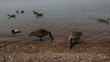 wild geese and ducks swimming and standing on the shore