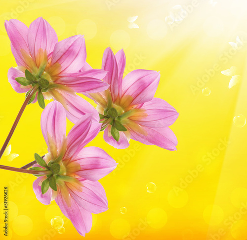 In de dag Dahlia Spring flower on a yellow abstract background.Nature season