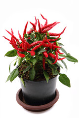 red hot chili plant