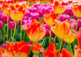 Floral Tulips Background