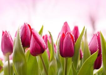 fototapeta Świeże tulipany z kroplami rosy