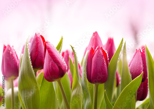 Foto op Canvas Tulp Fresh Tulips with Dew Drops