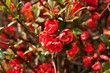 Early spring japonica ( Chaenomeles )