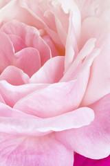 Red rose closeup. Flowers art design.