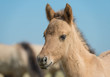 Head of a Konik foal