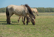 Grazing Konik horses in a field of grass