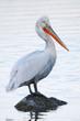 dalmatian pelican (Pelecanus crispus) standing on a rock