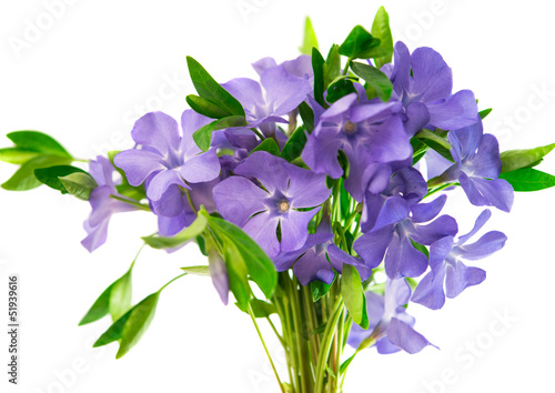 flower periwinkle isolated