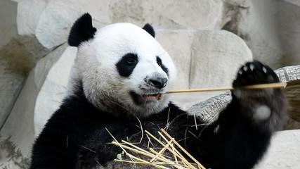 cute giant panda bear eating bamboo